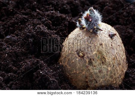 Potato tuber with sprouts in the soil
