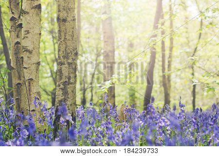 Toned photo. Sun coming through the trees and carpets of bluebells in Abbot's Wood in East Sussex England selective focus