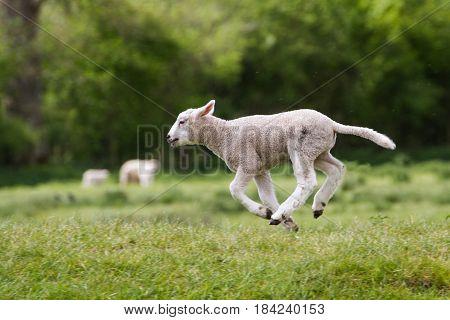 Cute Happy Lamb running across field from right