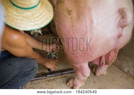 Pork Insemination