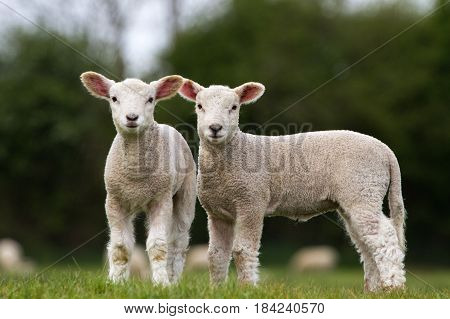 Pair of Cute Lambs looking at camera stood in field