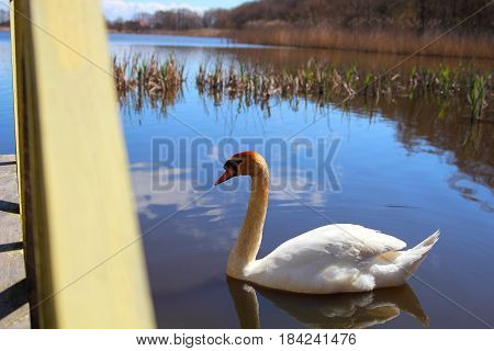 adult white Swan in spring pond with reflection