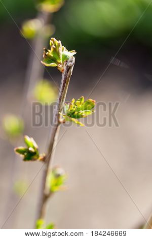 Buds blossom on a tree branch in nature