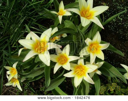 Group Of Seven Yellow Day Lillies
