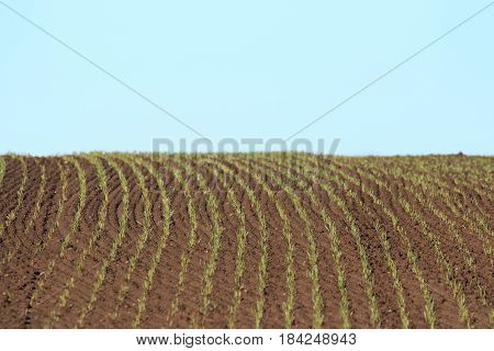 newly corn Fields with corn in rows