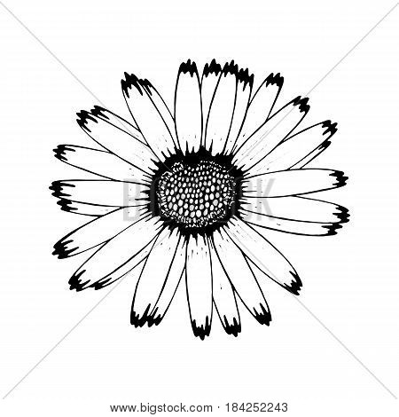 Beautiful camomile flower isolated. Hand drawn spring flowers. design greeting card, invitation of the wedding, birthday, Valentine's Day, earth day, spring day, mother's day