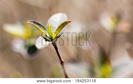 A green bud grows on a tree in the spring .