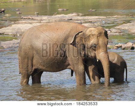 Asian elephant mother and baby having bath in river on Sri Lanka - Elephas maximus