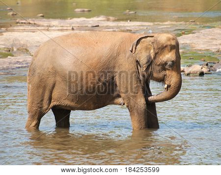 Adult asian elephants having bath in river - Elephas maximus