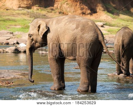 Asian elephant having bath in river on Sri Lanka - Elephas maximus