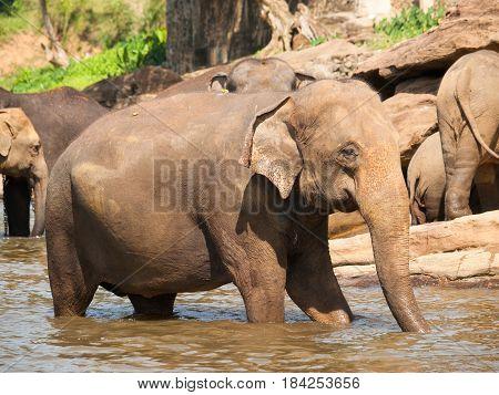 Elephant in river on Sri Lanka - Elephas maximus