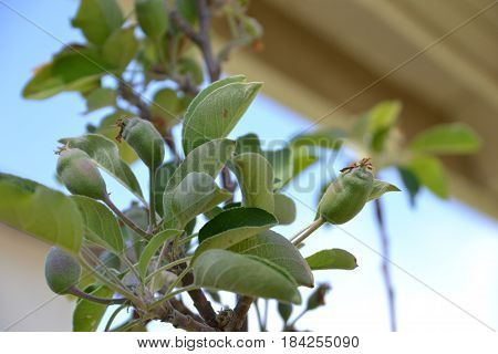 cluster of various dwarf apples on a grafted tree