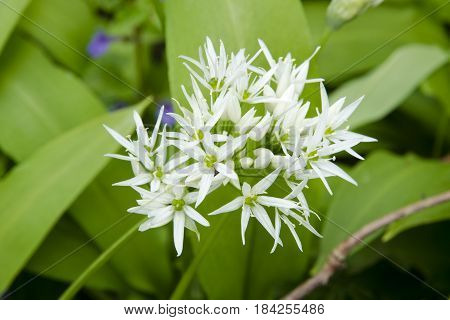 Close-up view of a flower of the bear garlic - Allium ursinum - blooming in the forest on a sunny spring day