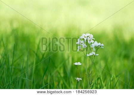 Cuckooflower (Cardamine pratensis or lady's smock) in fresh spring grass