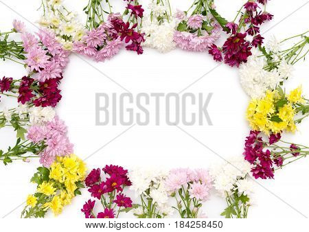 colorful chrysanthemum isolatef on a white background