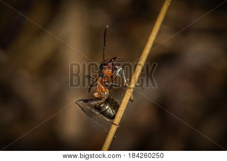 A Red Wood Ant Worker On A Straw