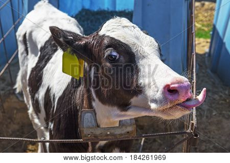 Young black and white calf licking in a stall for calves with straw