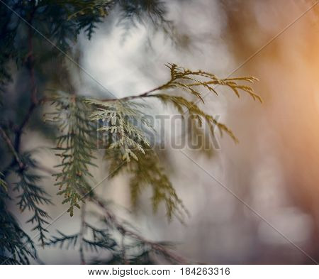 Background with a thuja branch close up.