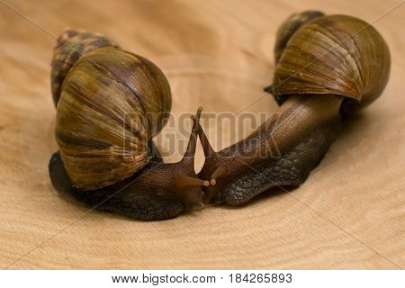 African snails Achatina at home on wooden background