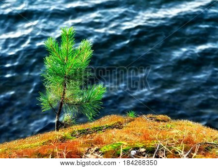 Nature summer landscape - small pine tree on a cliff on the background of blue lake water. Summer landscape with pine tree on the cliff -closeup summer view. Summer nature details. Pine tree against blue water -summer background