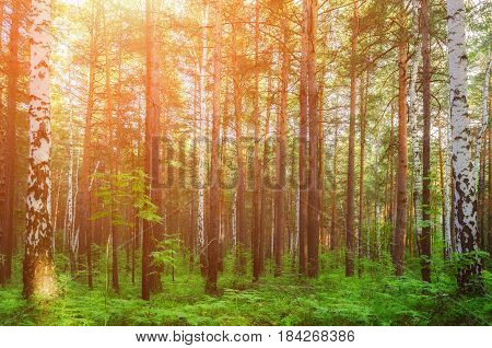 Forest spring landscape with spring forest birches and fir trees lit by sunset light. Soft filter applied. Spring forest background with forest trees in the spring sunset.Colorful spring forest nature -background with mixed spring forest