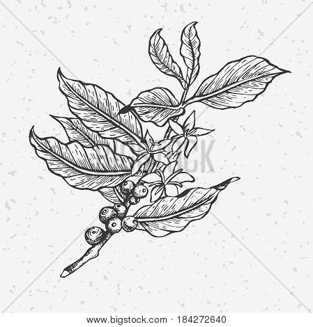 Coffee tree illustration. Engraved and black and white style illustration. Vintage coffee.