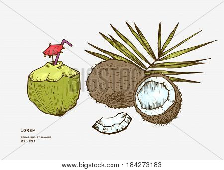 Sketch vector tropical food illustration. Coconut nut vintage design template. Botanical fruit. Engraved coconut.