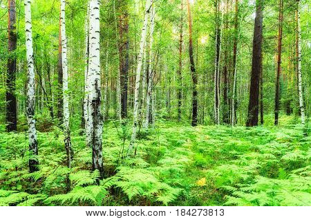 Forest summer landscape with forest birches - soft focus applied. Green summer trees in the mixed forest in cloudy summer day -colorful summer forest landscape. Natural forest with soft sunlight through the summer trees -nature forest background