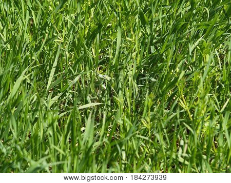 green grass growing in front of everyone