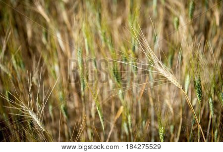 Green Cereal plant ripe ready for harvesting