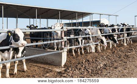 Cows animasl feeding at a cow animal farm.