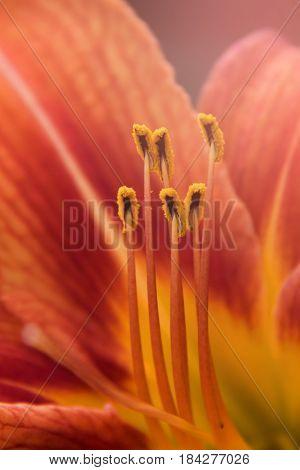 Flower daylily. Latin name Hemerocállis.  Close up, macro. Spring solar background, photo wall paper. Soft focus, toning