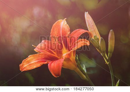 Flower daylily. Latin name Hemerocállis.  Close up, macro. Spring solar background, photo wall paper. Soft focus, toning