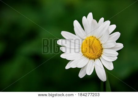 Daisy on a green background. Spring solar background, photo wall paper. Close-up.
