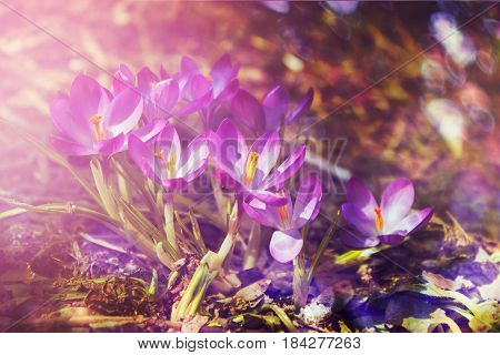 Crocuses. Close up. Spring solar background, photo wall paper. Soft focus, toning
