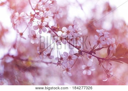 Blossoming cherry, flowering cherry. Close up. Spring solar background, photo wall paper. Soft focus, toning