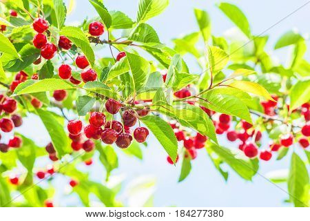 Red cherries on a branch with green leaves in the orchard on a sunny summer day backlit. Selective focus