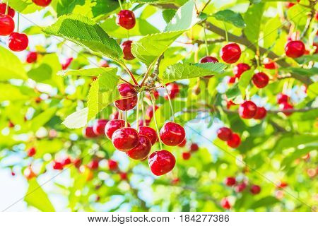 Red cherries on a branch with green leaves in the orchard on a sunny summer day backlit close-up. Selective focus