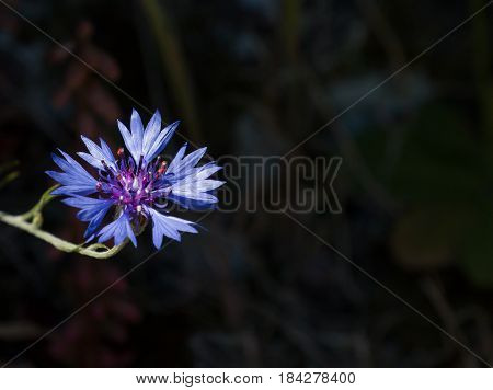 Vivid blue Cornflower against dark background with space for copy or text.