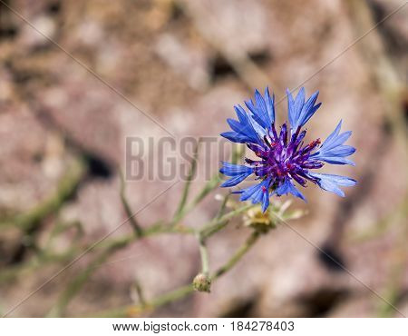 Vivid blue Cornflower against light background with space for copy or text.