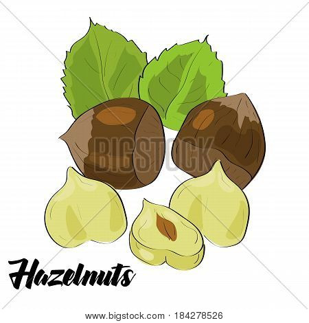 Vector drawn hazelnut with leaves. Isolated illustration on white background.