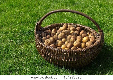 The Potatoes Are In The Old Wicker Basket On The Green Grass Under The Rays Of The Sun.