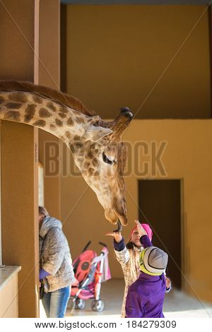 Young Giraffe And Beautiful Little Girl At The Zoo. Little Girl Feeding A Giraffe At The Zoo At The