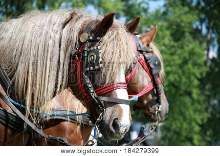 Portrait closeup of young strenght stallions on green background
