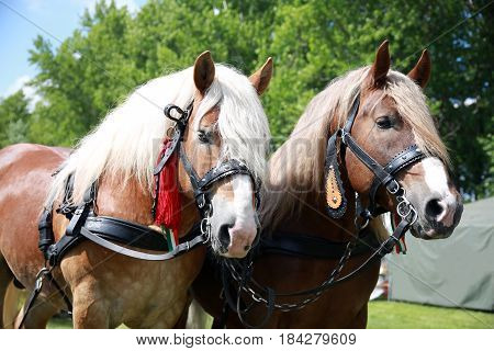 Farm horses fitted with beautiful handmade harness waiting to go to work