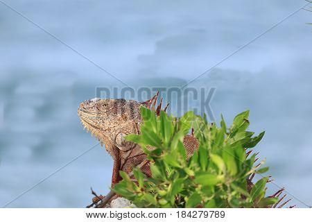 Iguana resting along waterway at Trumbo Point Key West Florida