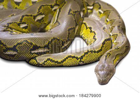 Python large photo isolated on white background
