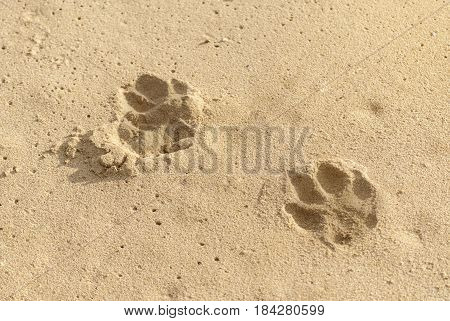Dog footprints in sand on Beach at sunny day