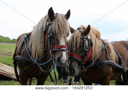 Farm horses fitted with beautiful handmade harness waiting to go to work against green natural background