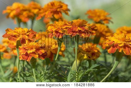 golden yellow marigolds in full bloom growing in garden